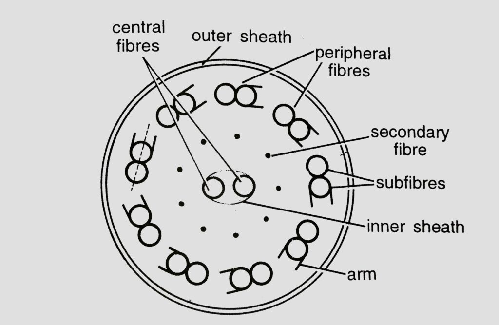 T.S. Structure of the Locomotory Flagella of Euglena