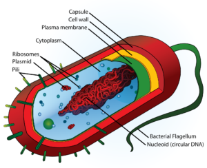 Do Bacteria have a Nucleus or Nucleoid? Let's Know