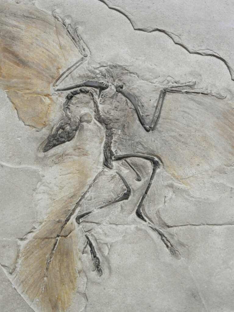 Fossil of Archaeopteryx as seen in the lithographic limestone