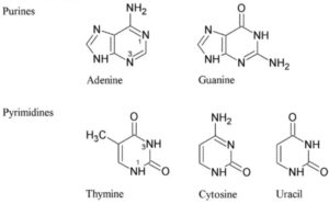 Why Uracil is present in RNA and Thymine in DNA? Let's Know!