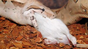 How Do Snakes Eat? (Feeding & Swallowing Mechanism)