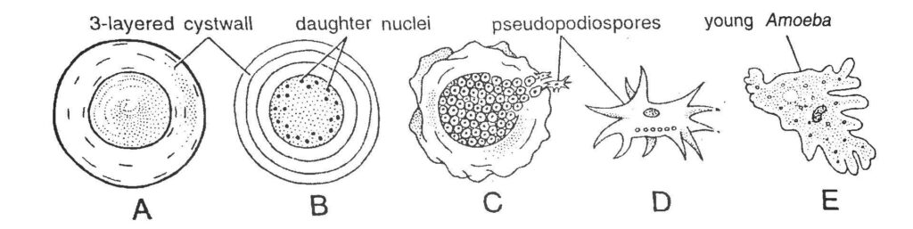 Encystment and Multiple Fission in Amoeba
