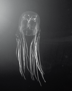 How big is a Box Jellyfish? How big do they get? Also read about their eyes and venom