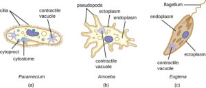 What is the function of Contractile Vacuole in Protozoa? What actually is the contractile vacuole? Read More About It!