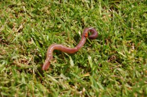 Are Earthworms decomposers or detritivores or anything else?