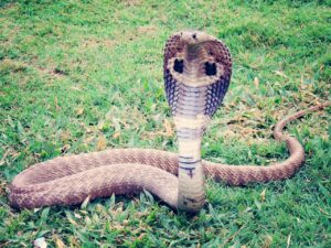 Are snakes Poisonous or Venomous? What's the difference?