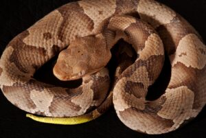 How Venomous are Copperheads? Let's Know All About it!
