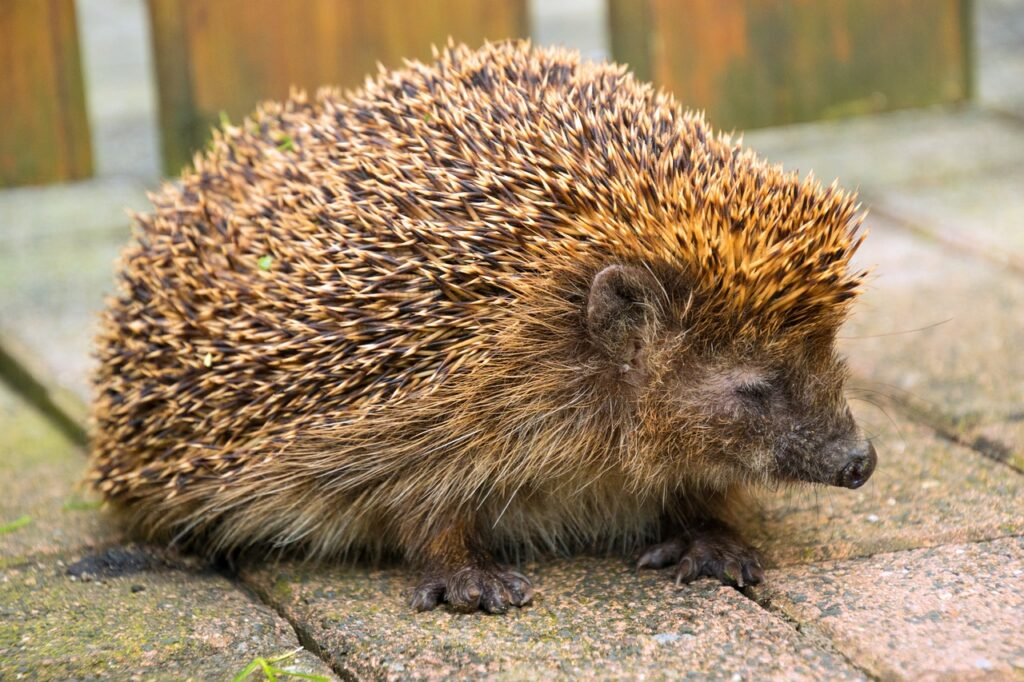 Hedgehog Hibernating: Hedgehogs usually hibernate from October/November through to March/April. However, during mild winters hedgehogs can remain active well into November and December.