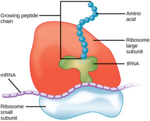 What are Ribosomes made of? How are Ribosomes made? And more to know!