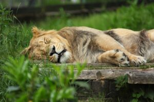 Why do Lions sleep so much? Why are they so lazy?