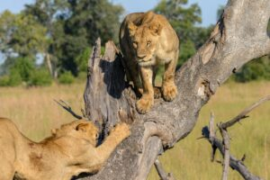 How does a Lion maintain homeostasis? How do the Lions deal with Heat? – (Let's Know)