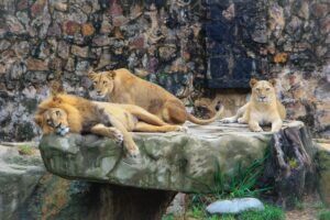 How Are Lions Fed In The Zoos? Are Zoos Good For Them?