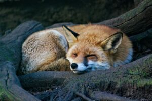 How do Foxes adapt to their environment? – (Fox Adaptations)