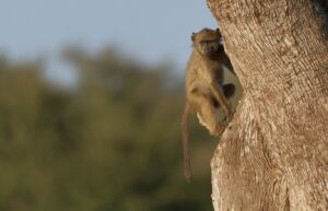 Do baboons have tails? What do they use it for?