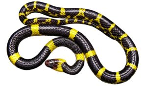 Are Snakes Reptiles or Amphibians? Let's Get Your Queries Cleared
