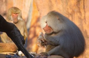 What do Baboons eat? Do Baboons eat meat?