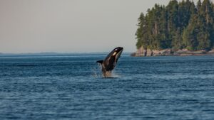 What do Orcas (Killer Whales) eat? Are Orcas at top of the Ocean Food Chain?