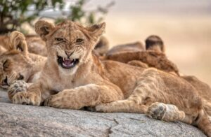Do Lions have spots? Why are Lion Cubs born with spots?