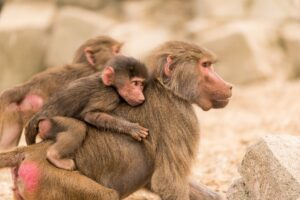 What eat Baboons? – List of 7 Natural Predators of Baboons