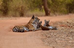 Do Male Tigers Help Raise Cubs? Why Do Tigers Kill Cubs? And More Things To Know