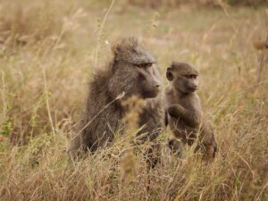 Why do Baboons steal Lion cubs? Do Baboons raise Lion cubs?