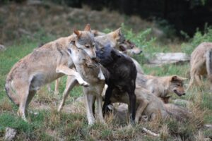 How do wolves greet each other? How do they show affection?