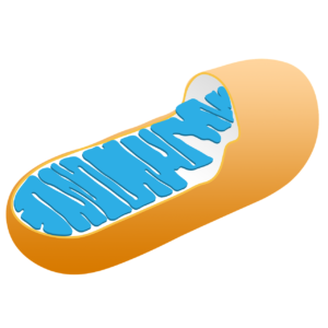 Do Mitochondria Have DNA & Ribosomes? And if present, then why? Let's Know