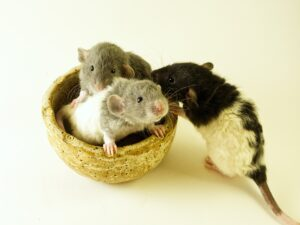Do Rats Eat Their Babies? Why Do Rats Eat Their Babies?