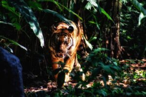 What do Tigers need to survive? Let's Know About It