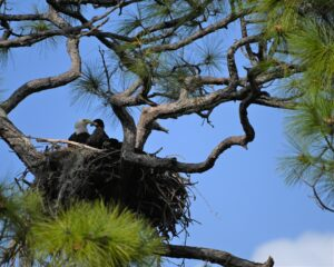 How do Eagles mate? How do they choose and attract a mate? Let's Know!