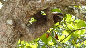 Can sloths run? Why and why not?
