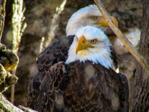 Do eagles mate for life? What happens when their mate dies?