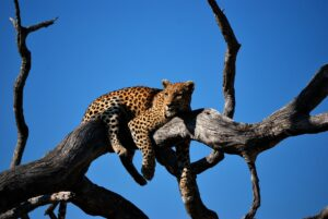 How Strong is a Leopard? Are Leopards really Strong?