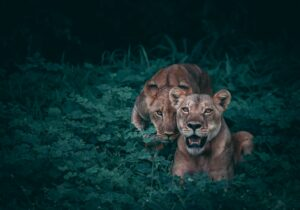 9 animals Lions are sometimes afraid of – (Let's Know)