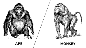 Is a baboon a monkey or an ape? (Answered With Reasons)